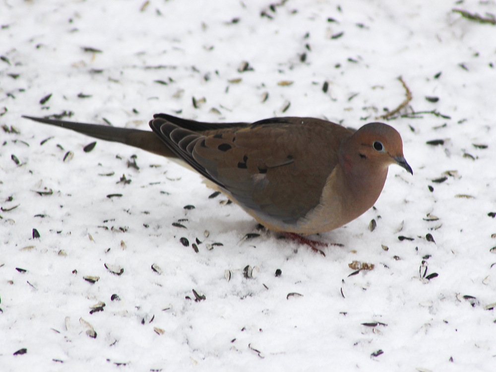 Dove - Maryland Snow Bird Photography