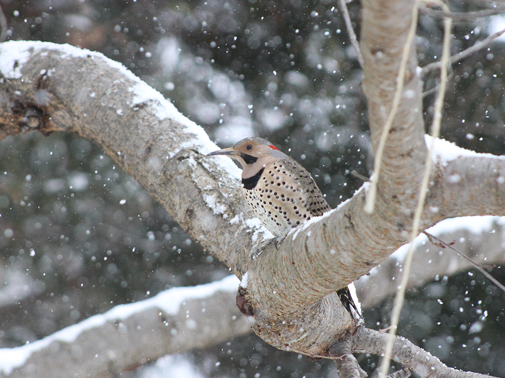 Yellow-Shafted Flicker Woodpecker - Maryland Snow Birds