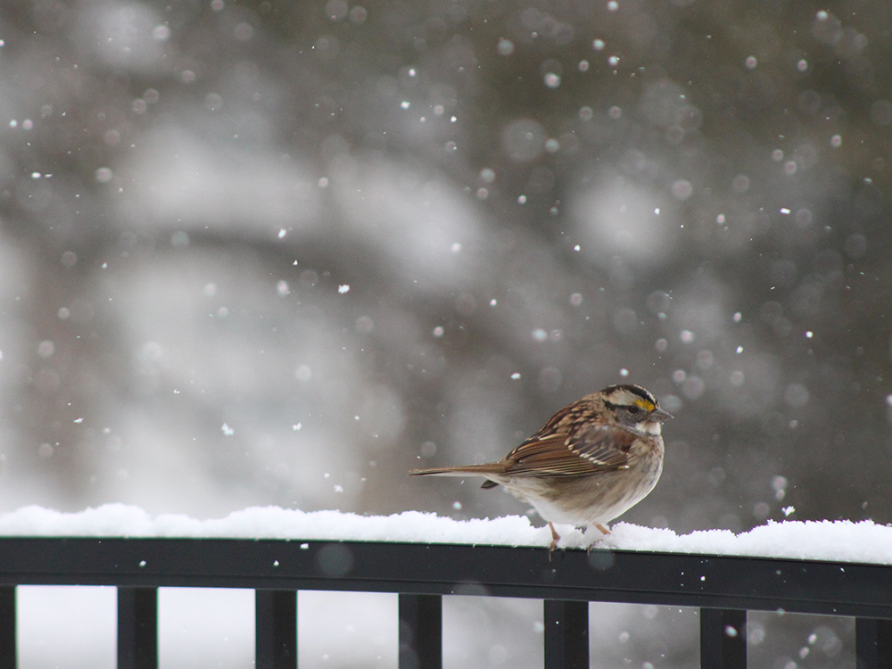 Maryland Snow Bird Photography