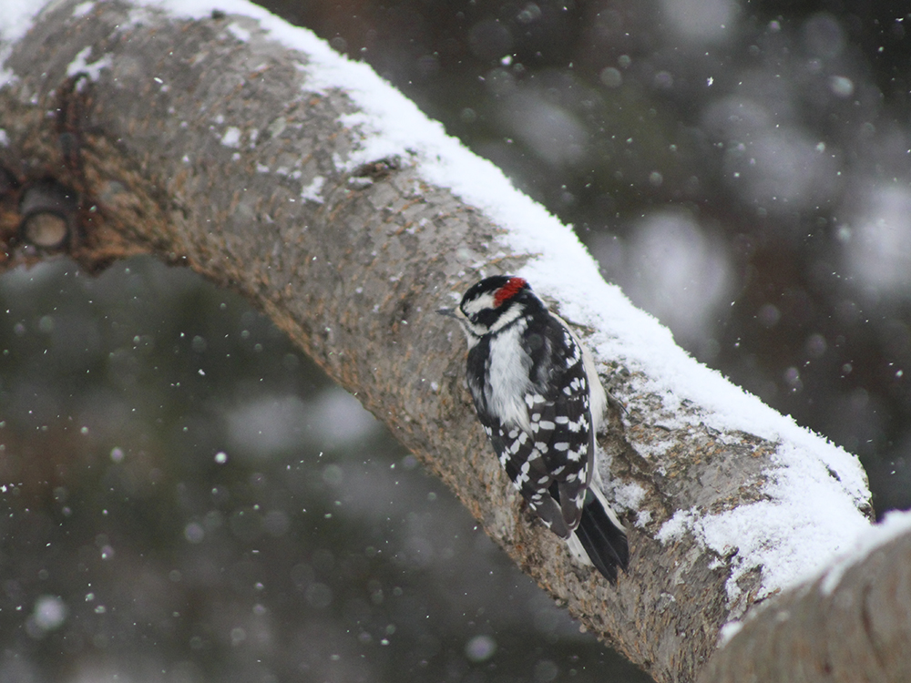 Downy Woodpecker - Maryland Snow Bird Photography