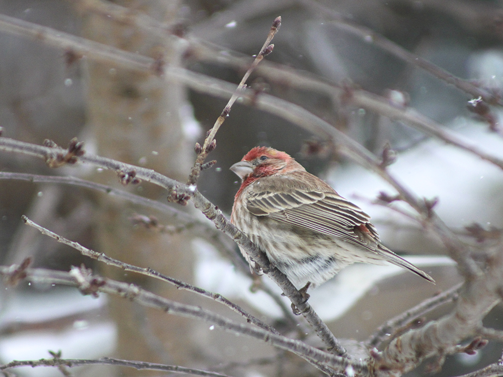 House Finch - Maryland Snow Bird Photography