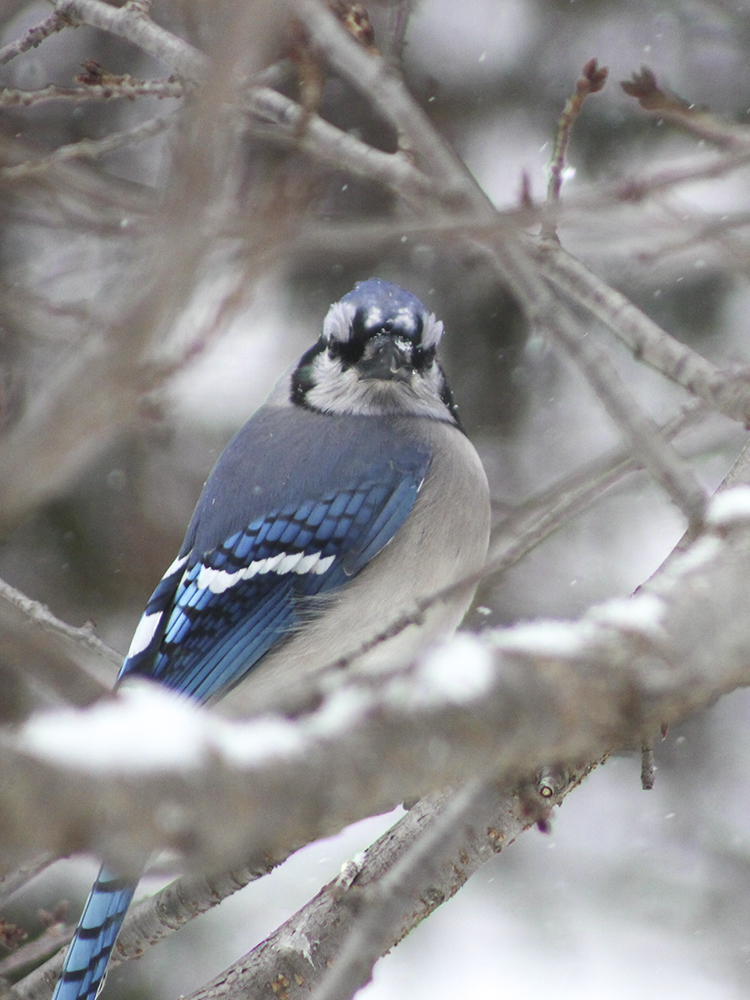 Blue Jay - Maryland Snow Bird Photography