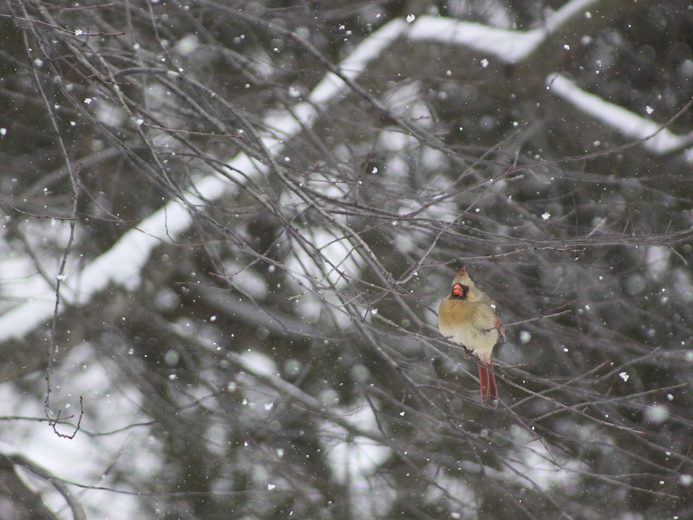 Cardinal - Maryland Snow Bird Photography