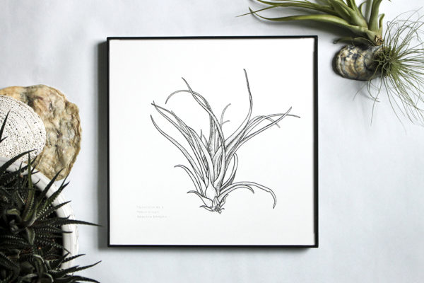 Black and white pen illustration of tillandsia plant